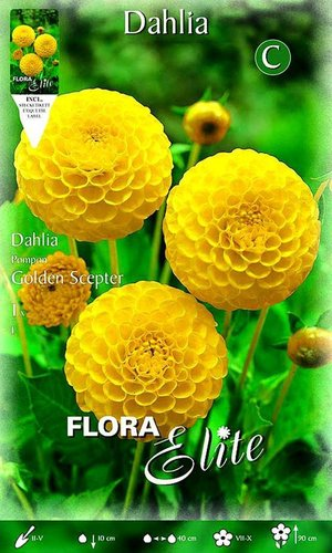 204380 POMPON-DAHLIEN GOLDEN SCEPTER