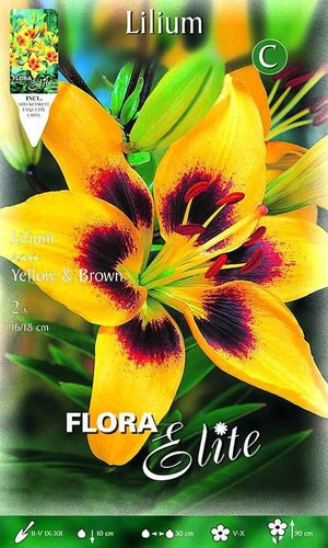216920 LILIEN ASIATISCHE HYBRIDEN YELLOW AND BROWN